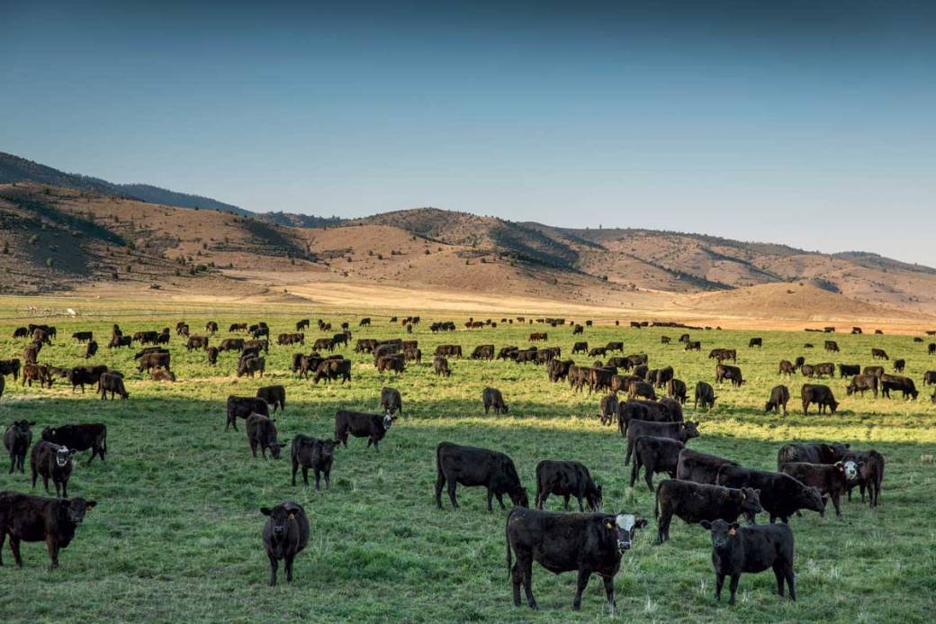 belcampo-cattle_modernfarmer